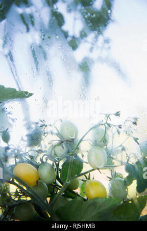 Tomatoes growing on vine - Stock Image