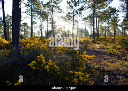 Sunrise in the pine forests of Comporta in the springtime - Stock Image