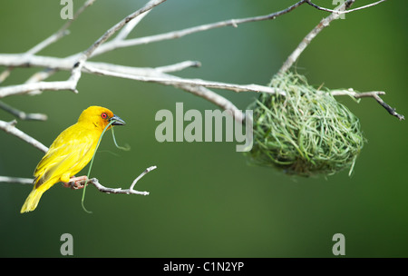 Golden Palm Weaver. Ploceus bojeri . Saadani. weaver bird building nest Tanzania - Stock Image