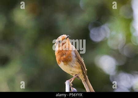 A slightly scruffy Robin (Erithacus rubecula) perched on a feeder. - Stock Image
