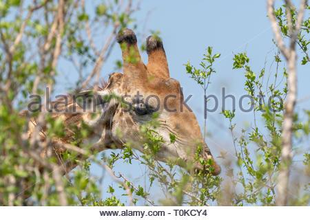 Giraffe (Giraffa camelopardalis), taken in South Africa - Stock Image