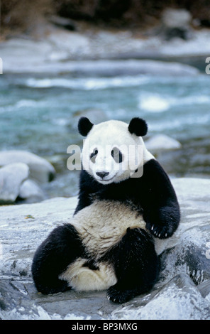Giant panda sits beside river, Wolong, Sichuan Province, China - Stock Image
