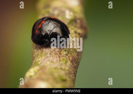 Heather Ladybird (Chilocorus bipustulatus) at rest on tree branch. Tipperary, Ireland - Stock Image