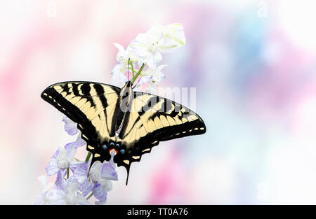 A western tiger swallowtail (Papilio rutulus) with wings spread open - on a soft colour background - Stock Image