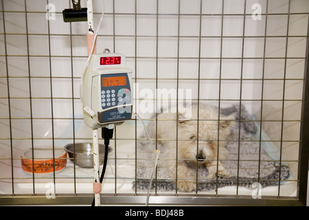 Westie Puppy on an IV Drip in a Veterinary Hospital - Stock Image