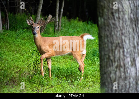 A young stag stomping his feet - Stock Image