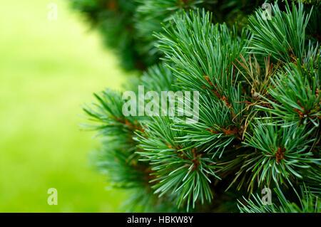 Green Christmas tree background close up horizontal - Stock Image