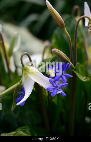 erythronium minnehaha,fawn lily,white flowers,dogstooth violet,spring,flowers,flowering,clump,colors,colours,dogs tooth,Siberian Squill,Scilla siberic - Stock Image