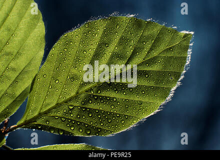 Leaf with rain water. 2000 - Stock Image