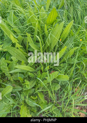 Leaves / foliage of the common weed Ribwort Plantain (Plantago lanceolata) which can be used as a foraged food once cooked (more of a survivial food) - Stock Image