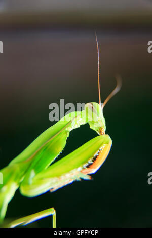 Praying Mantis Mantis religiosa close up - Stock Image