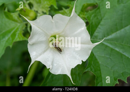 Hoverfly on a white Brugmansia flower (Angel's Trumpet plant), UK, August. - Stock Image