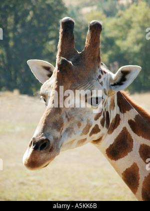 Adult Giraffe at the Wildlife Safari Park in Oregon 2004 - Stock Image
