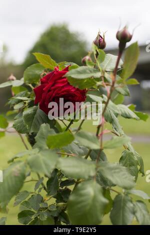 All Ablaze large flowered climber rose at the Owen Rose Garden in Eugene, Oregon, USA. - Stock Image