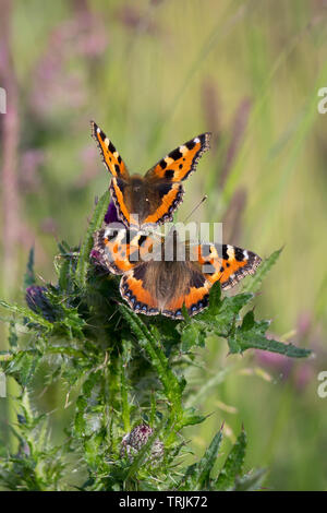 Detailed, portrait close up of a pair of Small Tortoiseshell butterflies (Aglais urticae) together in outdoor UK countryside habitat, on thistle plant. - Stock Image