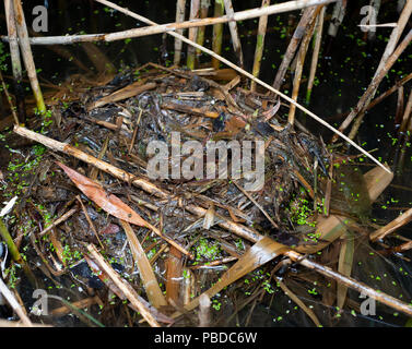 Floating nest in reed bed, belonging to Little Grebe,(Tachybaptus ruficollis), also known as Dabchick, Walthamstow Reservoirs, British Isles - Stock Image