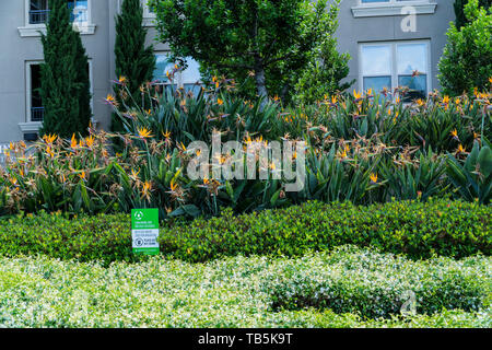 An Apartment complex with a large planting of Bird Of Paradise plants in the Silicon Valley California USA - Stock Image