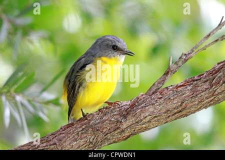 A EASTERN  YELLOW ROBIN  BIRD PERCHED IN A BOTTLEBRUSH TREE HORIZONTAL BDA - Stock Image