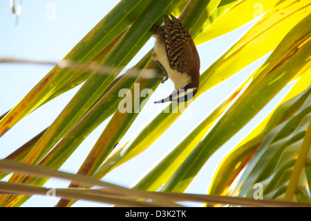 Bird hanging upside down on a grass-like plant - Stock Image