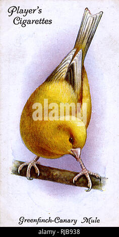 Greenfinch-Canary Mule. - Stock Image