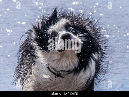 Wet dogs at the beach - Stock Image