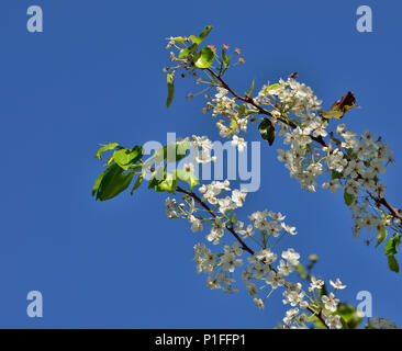 Bradford Pear tree, Pyrus calleryana, Pear Tree Blooms, Mission Viejo, CA 120208_70569 - Stock Image