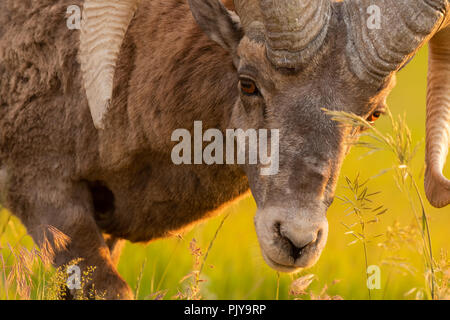 Close up of Bighorn Sheep Bending Down to Graze on field - Stock Image