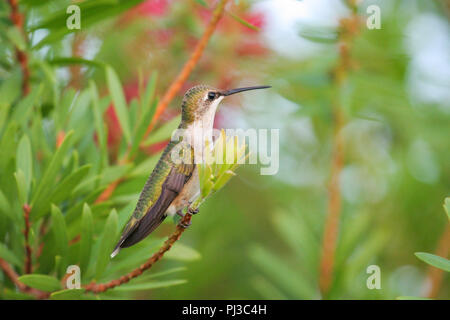 A female ruby-throated hummingbird along the coast of Alabama, USA just before migrating across the Gulf of Mexico. - Stock Image