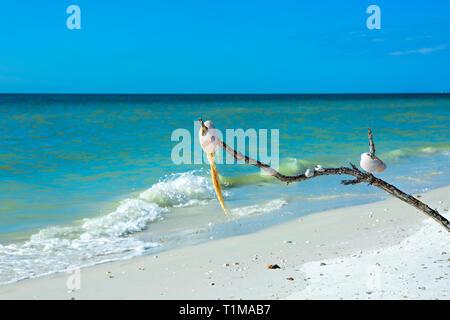 Seashell tree at Tigertail beach - Stock Image