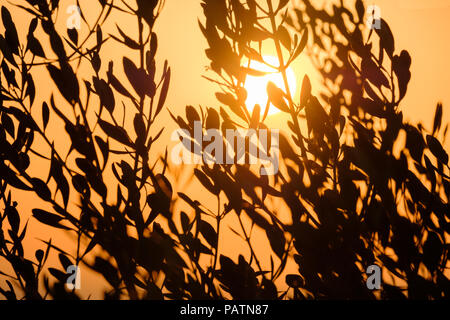 Orange Sun setting behind branches of an olive tree. Saronida, Greece, Europe. - Stock Image