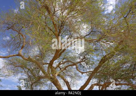 Tree of Life (prosopsis cineraria), Kingdom of Bahrain - Stock Image