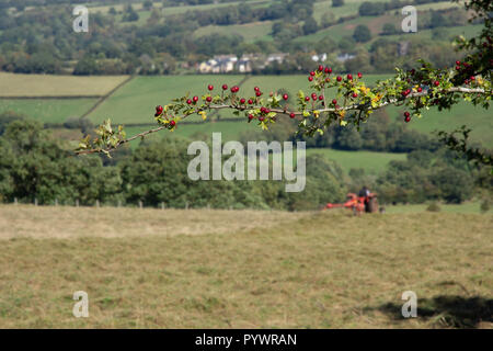 Haymaking near Offas Dyke Herefordshire UK 2018 with vintage tractor - Stock Image