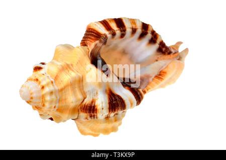 Yellow Triton shell (Cymatium grandimaculatum) - Stock Image