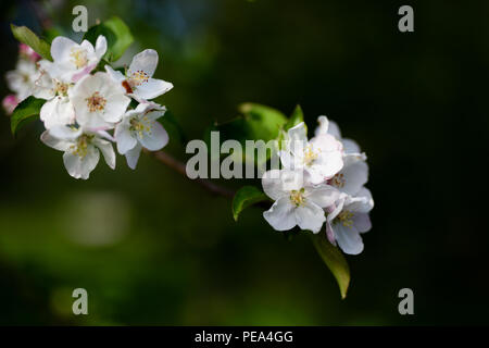 Apple Blossoms Branch - Stock Image