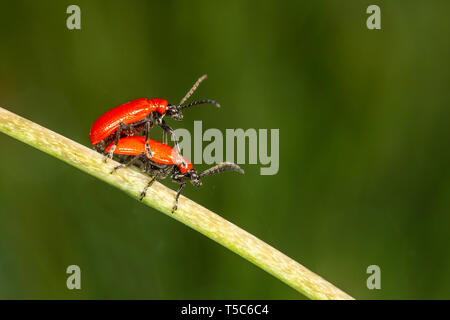 Lily Beetle, Lilioceris lilii, mating pair on fritillary stem, Monmouthshire. Family  Chrysomelidae - Stock Image