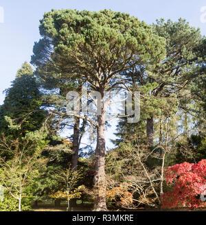 Shore pine tree, Pinus contorta, National arboretum, Westonbirt arboretum, Gloucestershire, England, UK - Stock Image