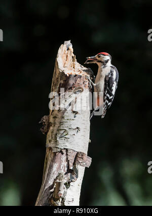 Greater spotted woodpecker Dendrocopos Major feeding from a tree stump in a UK woodland  England UK. - Stock Image