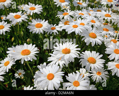 white daisies in bloom - Stock Image