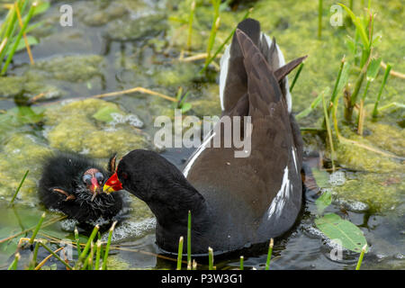 Rutland water Oakham, UK. June 19th 2018: Breeding wildlife, feeding mothers and nest building on one of the Uk largest man made nature area.  Clifford Norton Alamy Live News. - Stock Image