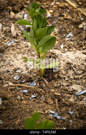 Vegetable gardening in the UK - young broad bean plants in a raised bed on an allotment garden surrounded by a dusting of fresh wood ash and crushed mussel shells to protect them from being eaten by slugs - Stock Image