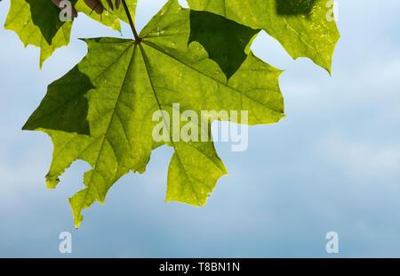 Broad tree leaf detail close up - Stock Image