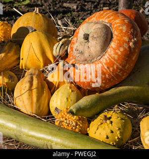 A collection of ornamental multi-coloured gourds on a bed of straw, Derbyshire, England, UK - Stock Image