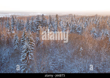 Snow covered Evergreen forest at golden hour - Stock Image