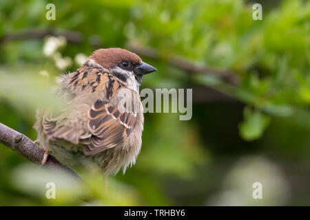 Detailed close-up rear view of a wild tree sparrow bird (Passer montanus) isolated, perched on branch in natural outdoor UK woodland habitat in summer. - Stock Image
