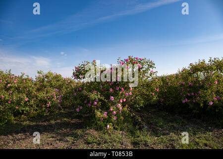 Several rows with bloomed roses in an agricultural field before harvesting. - Stock Image