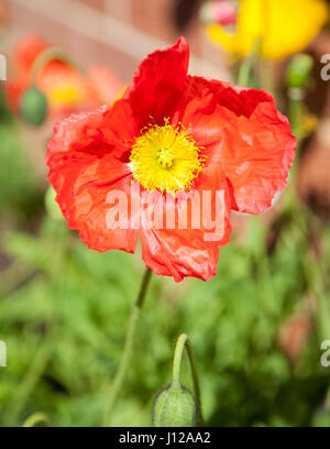 Red and yellow poppy, Spring season - Stock Image