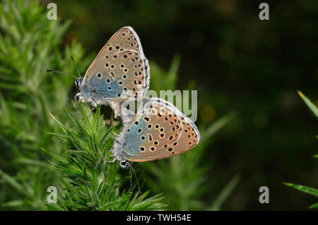 Large Blue Butterflies Glaucopsyche arion mating on Selfheal flower at Collard Hill in Somerset - Stock Image