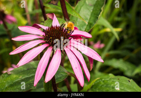 Brown bumblebee collecting pollen from a pink Echinacea Purpurea flower in a garden in the UK - Stock Image