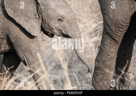 Detail of the head of an elephant calf - Stock Image