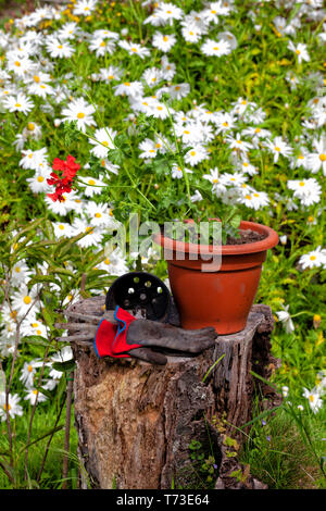 Transplanting a red geranium from one small pot to another larger one. - Stock Image